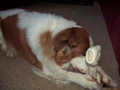 Dog praying for bone when he got his Christmas gift.